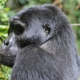 Uganda Tour Gorilla Holiday