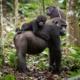 Republic of Congo - Congo Odzala Discovery Tour